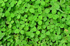 Unlucky Clovers Stock Image
