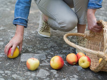 Unlucky woman with spilled apples. Organic apples spilled from the basket on the ground Stock Images