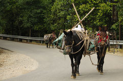 Unmanned Mules. Unmanned donkey's are following the road in Yunhe County Zhejiang province China Stock Image