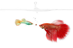 Unmatched. Small fish and large fish competing for a food pellet. Unequalled competition stock image