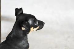 Unmindful hund, tillfällig hund Arkivfoton