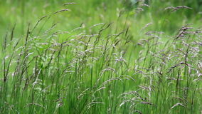 Unmoving grass stalk in the meadow. Un-moving grass stalk in the meadow. Grass stalk remains un-moved since there is no wind to sway its stalk stock footage