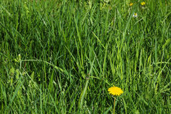 Unmowed tall grass wth dandelion and weed Stock Photo
