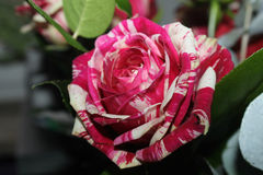 Unnatural artificial colors rose with unusual petal hues stock image