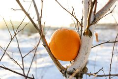 An unnatural phenomenon does not happen, an orange on a birch tree in winter in Russia Stock Image