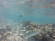 Unnderwater fisch with blue water. Colorfull royalty free stock images