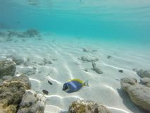 Unnderwater fisch with blue water. Colorfull royalty free stock photos