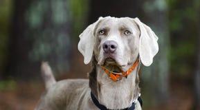 Weimaraner gun dog, pet adoption photo, Monroe Georgia USA. Unneutered male blue Weimaraner dog with hunter orange collar on leash in pine tree woods. Outdoor stock image