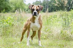 Boxer Dog, pet adoption photography. Unneutered male red and white Boxer dog outdoors on leash. Pet adoption photography for Walton County Animal Control humane Royalty Free Stock Image