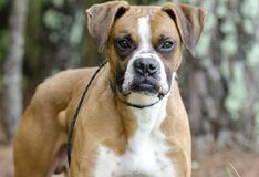 Boxer Dog, pet adoption photography. Unneutered male red and white Boxer dog outdoors on leash. Tumor or cyst on his side. Pet adoption photography for Walton Stock Images