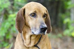 Redbone Coonhound hunting dog, animal shelter pet adoption photo. Unneutered male Redbone Coonhound dog with floppy ears outside with black leash. Heartworm royalty free stock image