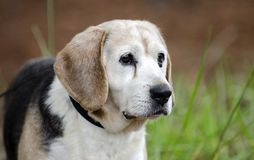 Senior Beagle Dog pet adoption photograph. Unneutered male 12 year old Beagle dog, tri-color, on leash in pine tree woods. Senior dog with small tumor under eye stock images