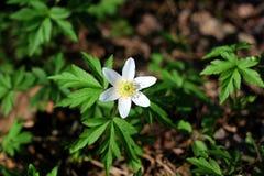 Uno blanco, flor salvaje en el bosque Imagenes de archivo