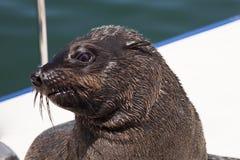 Uno de la manada enorme de la natación del lobo marino cerca de la orilla del esqueleto Foto de archivo libre de regalías