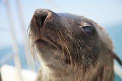 Uno de la manada enorme de la natación del lobo marino cerca de la orilla del esqueleto Imagenes de archivo
