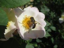 Uno de los pasos la formación de miel Imágenes de archivo libres de regalías