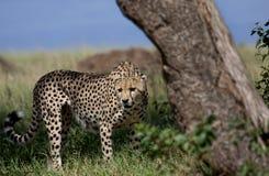 Uno de tres hermanos del guepardo, Masai Mara Fotos de archivo libres de regalías