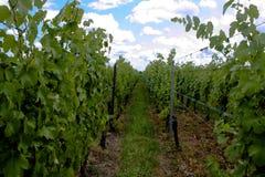 Uno del camino Alsatian del viñedo Imagen de archivo libre de regalías