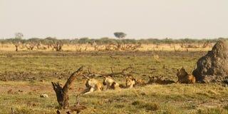 Uno del orgullo grande cinco de leones Foto de archivo libre de regalías