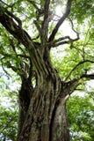 Uno di molti alberi di Banyon su Playa Panama in Guanacaste, Costa Rica immagine stock libera da diritti