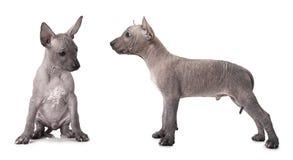 Uno e cucciolo del xoloitzcuintle di mezzo mese Immagine Stock