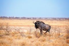 Uno gnu sulla fine gialla del fondo del cielo blu e dell'erba su nel parco nazionale di Etosha, safari durante il periodo di sicc immagini stock