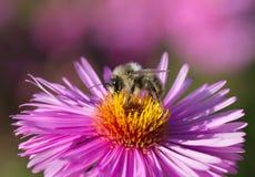 Uno manosea la abeja en la flor Imagen de archivo