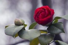Uno rosa e fondo di bokeh Fotografia Stock