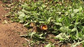 Uno sbattimento delle farfalle in erba archivi video