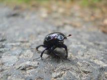 Uno scarabeo Fotografia Stock Libera da Diritti