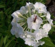 Uno scarabeo che riposa in una fioritura bianca Fotografie Stock