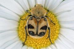 Uno scarabeo colorato che si siede su una margherita Fotografie Stock
