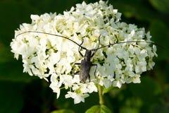 Uno scarabeo con i grandi baffi Fotografia Stock