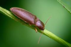Uno scarabeo di clic sul gambo di una pianta fotografie stock libere da diritti