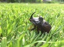 Uno scarabeo rinoceronte in un'erba verde fotografia stock