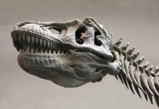 Uno scheletro del dinosauro immagini stock libere da diritti