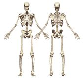 Uno scheletro umano Vista anteriore e posteriore Immagini Stock