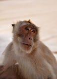 Uno, scimmia Immagini Stock Libere da Diritti