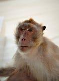 Uno, scimmia Fotografia Stock