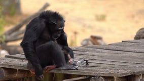 Uno scimpanzè comune video d archivio