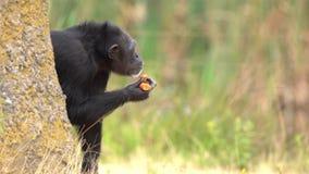 Uno scimpanzè comune stock footage