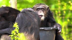 Uno scimpanzè comune archivi video