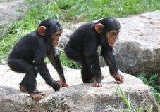 Uno scimpanzè dei due bambini Fotografia Stock