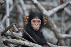 Uno scimpanzè del bambino sui rami della mangrovia La Repubblica del Congo Riserva di Conkouati-Douli fotografia stock