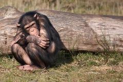 Uno scimpanzè hunched Immagini Stock Libere da Diritti