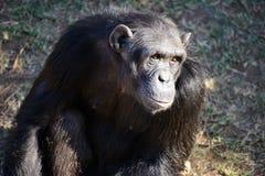 Uno scimpanzè nella tutela fotografie stock