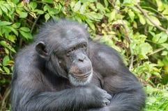 Uno scimpanzè scelto nella cattività immagine stock libera da diritti