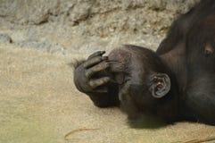 Uno scimpanzé che è sciocco Immagini Stock Libere da Diritti