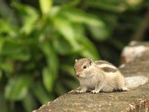 Uno scoiattolo Immagine Stock