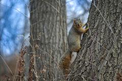 Uno scoiattolo adorabile che posa su un tronco di albero Immagini Stock Libere da Diritti